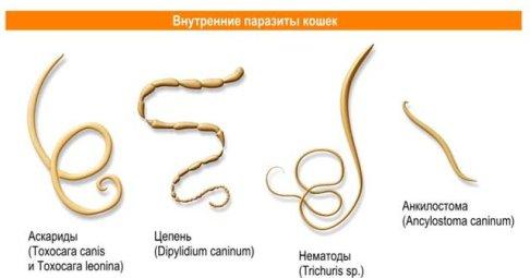 черви в организме человека википедия