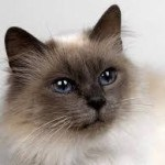 Несиамская кошка