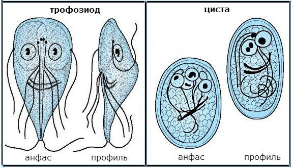 форма лямблий